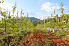 Obstgarten von jungen Apfelbäumen auf Vorfrühling Stockfoto