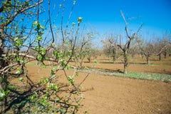 Obstgarten von jungen Apfelbäumen im Vorfrühling Lizenzfreies Stockbild