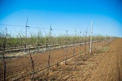 Obstgarten von jungen Apfelbäumen im Vorfrühling Lizenzfreie Stockbilder