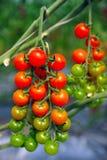 Obstgarten-wachsende Baum-Tomaten lizenzfreie stockfotografie