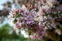 Obstgartenbaum mit Frühlings-Farbe lizenzfreie stockbilder
