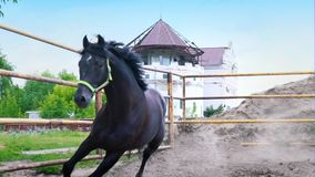 The obstinate dark horse galloping in the paddock under the open sky. The horse shows his temper