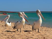 Pelicans. At the monkey mia beach stock images