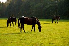 obszarów trawiasty konie obraz royalty free