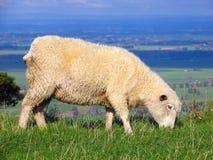 obszarów trawiastych owce Obraz Royalty Free