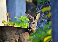 obszar charakteru roe rosyjskiego jeleni voronezh Fotografia Royalty Free