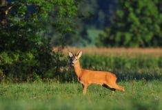 obszar charakteru roe rosyjskiego jeleni voronezh Obrazy Royalty Free