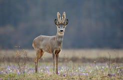 obszar charakteru roe rosyjskiego jeleni voronezh obraz stock