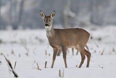 obszar charakteru roe rosyjskiego jeleni voronezh zdjęcia royalty free