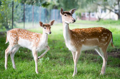 obszar charakteru roe rosyjskiego jeleni voronezh Fotografia Stock