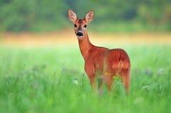 obszar charakteru roe rosyjskiego jeleni voronezh obrazy stock