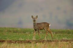 obszar charakteru roe rosyjskiego jeleni voronezh zdjęcie royalty free