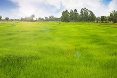 Obszar trawiasty dla średniorolnego działania w ryżowym polu Zdjęcia Stock