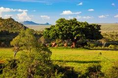 Obszar trawiasty, krzak i sawanna krajobraz. Tsavo Zachodni, Kenja, Afryka zdjęcie stock