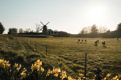 Obszar wiejski w Dani z lightmill i stadem sheeps obraz stock