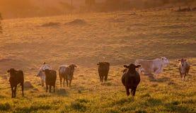 Obszar Wiejski z trawy nakarmoinym bydłem przy wschodem słońca obraz stock