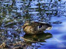 Obszaru trawiastego, mallard kaczka w błękitne wody/ obrazy royalty free