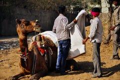 Obtendo um camelo pronto em Pushkar, Índia Imagem de Stock Royalty Free