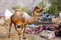 Obtendo um camelo pronto em Pushkar, Índia Foto de Stock Royalty Free