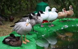 Obtenha todos seus patos em seguido Foto de Stock Royalty Free
