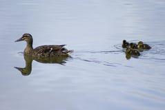 obtention de vos canards dans une rangée photo stock