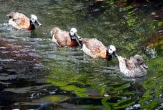 Obtention des canards dans une ligne Photos libres de droits