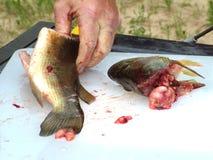 A obtenu de nettoyer les poissons. Image libre de droits