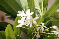 Obtusa Plumeria, λουλούδι νεκροταφείων της Σιγκαπούρης Στοκ εικόνες με δικαίωμα ελεύθερης χρήσης