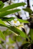 Obtusa Plumeria Στοκ Φωτογραφίες