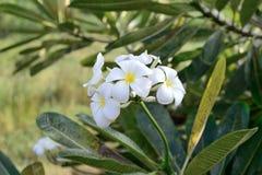 Obtusa Plumeria Στοκ Φωτογραφία