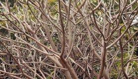 Obtusa Plumeria Στοκ Εικόνα