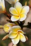 Obtusa van Plumeria Royalty-vrije Stock Fotografie