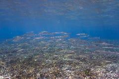 Obtuse barracuda (Sphyraena obtusata) Royalty Free Stock Image