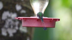 Obuty ogon, Ocreatus underwoodii, odwiedza dozownika w Ekwador zdjęcie wideo