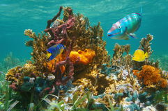Océan sous-marin d'espèce marine tropicale colorée Image stock