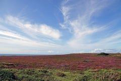 Océano Atlántico y brezo de flores púrpuras Fotos de archivo libres de regalías