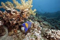 Océano, coral y angelfish árabe Foto de archivo libre de regalías