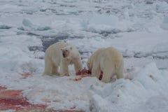Océano del norte de Spitsbergen del maritimus del Ursus del oso polar foto de archivo libre de regalías