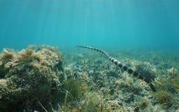 Océano Pacífico de la serpiente del colubrina subacuático de Laticauda Fotos de archivo libres de regalías