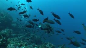 Océano Pacífico video subacuático de las islas de las Islas Galápagos del rayo de Eagle que se zambulle almacen de video