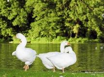 Oca bianca Fotografia Stock