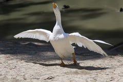 Oca bianca che sta vicino al lago Immagine Stock