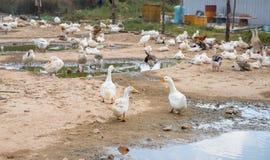 Oca bianca dalla pagaia Scena del cortile dell'azienda agricola dell'uccello Moltitudine di riposo bianco dell'oca all'aperto Fotografia Stock Libera da Diritti