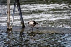 Oca canadese Fotografia Stock