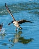 Oca canadese circa per spruzzare terra Fotografia Stock