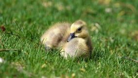 Oca canadese con i pulcini, oche con le papere che camminano nell'erba verde nel Michigan durante la molla Immagini Stock
