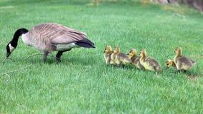Oca canadese con i pulcini, oche con le papere che camminano nell'erba verde nel Michigan durante la molla Fotografia Stock