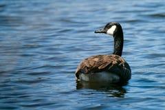 Oca canadese sul lago Fotografia Stock Libera da Diritti