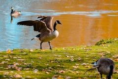 Oca che agita le sue ali al parco della riva del fiume Immagini Stock