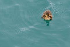Oca Chick Swimming Top Right Corner Immagine Stock